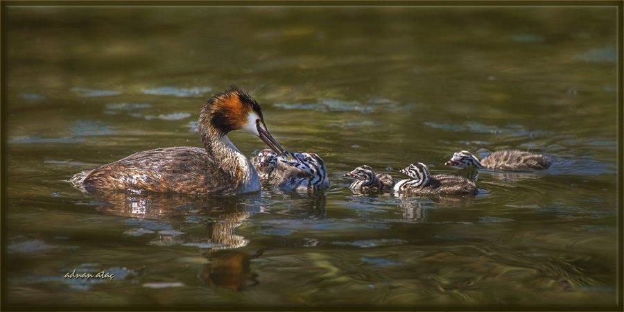 Bahri - Podiceps cristatus (Gölbaşı 2014) Yavrularını beslereken