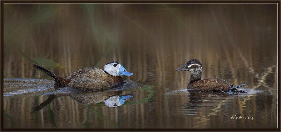 Dikkuyruk-White-headed-Duck-Oxyura-leucocephala-Ankara-2015-2