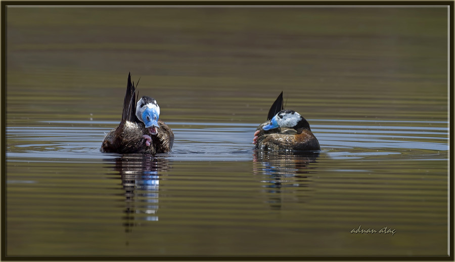 Dikkuyruk-White-headed-Duck-Oxyura-leucocephala-Ankara-2015-3