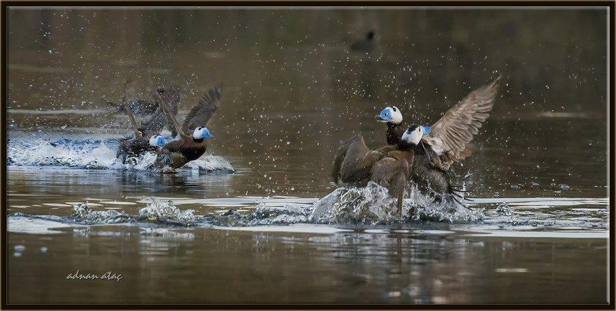 Dikkuyruk-White-headed-Duck-Oxyura-leucocephala-Ankara-2015-4