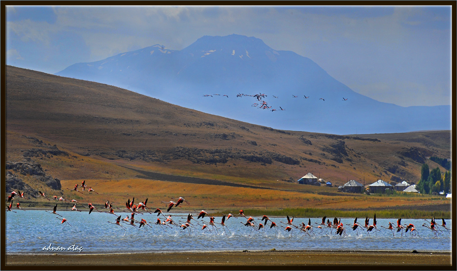 Flamingo - Phoeniconaias - Flamingo (Erciş 2009) 2