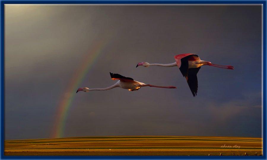 Flamingo - Phoeniconaias - Flamingo (Gölbaşı 2010) 1