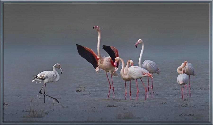 Flamingo - Phoeniconaias - Flamingo (Gölbaşı 2012) 2