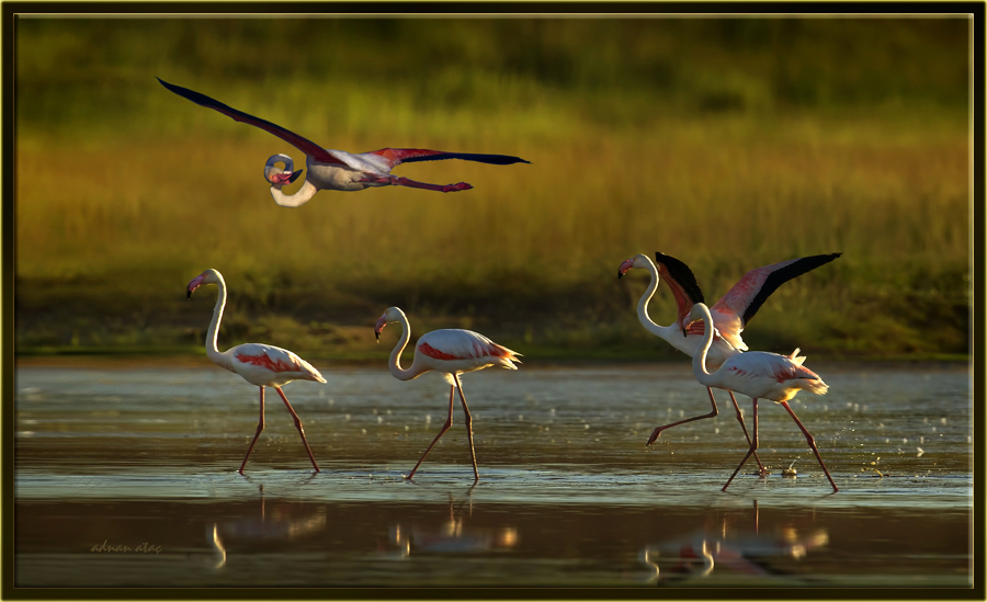 Flamingo - Phoeniconaias - Flamingo (Gölbaşı 2012) 3