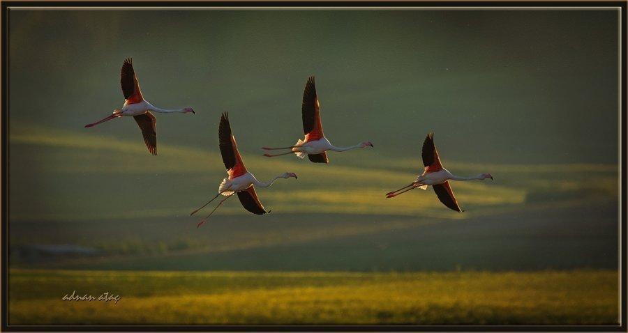 Flamingo - Phoeniconaias - Flamingo (Gölbaşı 2012) 5