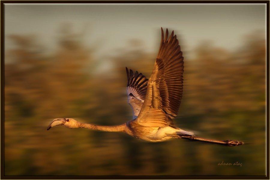Flamingo - Phoeniconaias - Flamingo (Gölbaşı 2013) 1