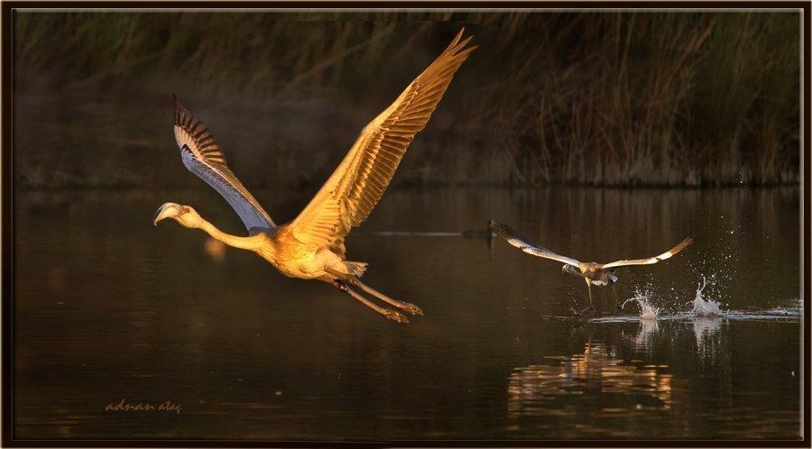Flamingo - Phoeniconaias - Flamingo (Gölbaşı 2013) 2