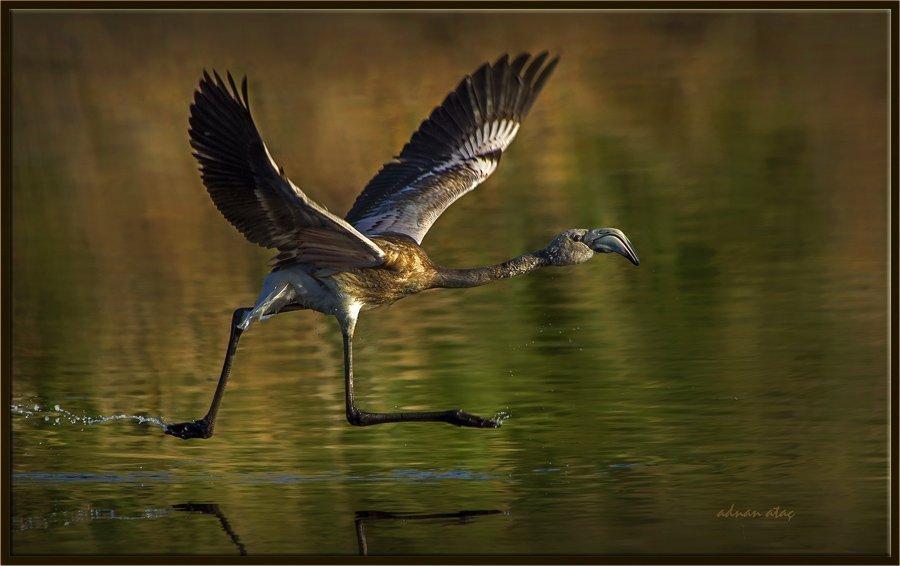 Flamingo - Phoeniconaias - Flamingo (Gölbaşı 2013) 4