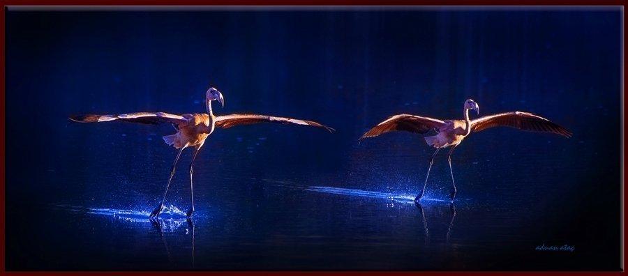 Flamingo - Phoeniconaias - Flamingo (Gölbaşı 2013) 5
