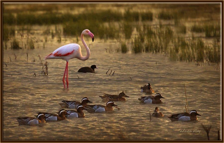 Flamingo - Phoeniconaias - Flamingo (Gölbaşı 2013) 6