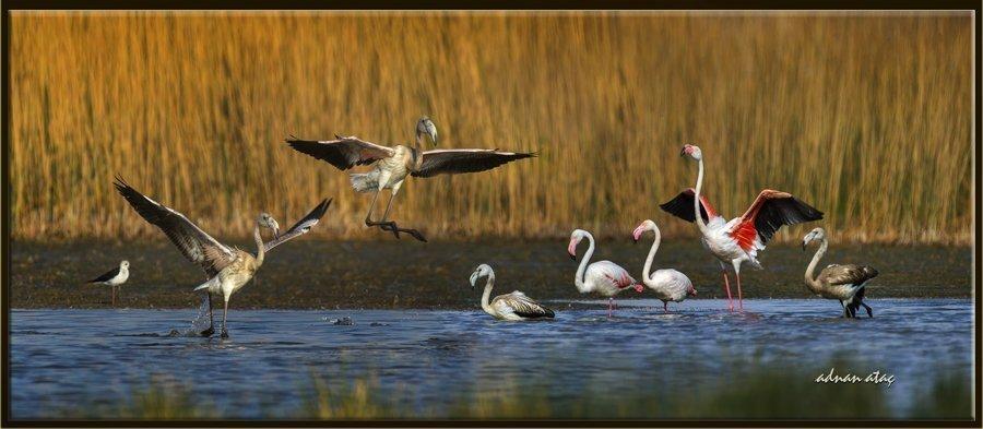 Flamingo - Phoeniconaias - Flamingo (Gölbaşı 2014)