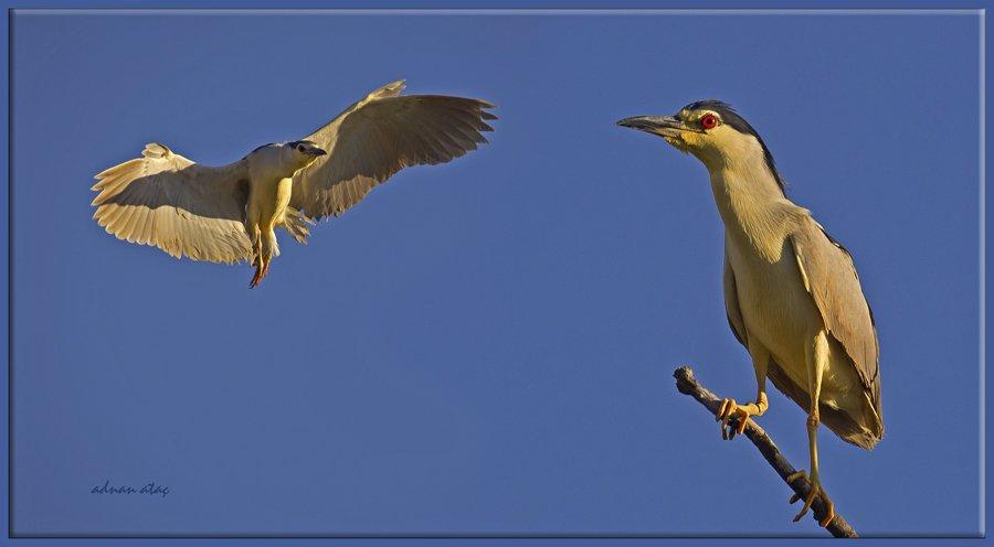Gece balıkçılı - Nycticorax nycticorax - Black crowned night heron (Gölbaşı 2012) 1