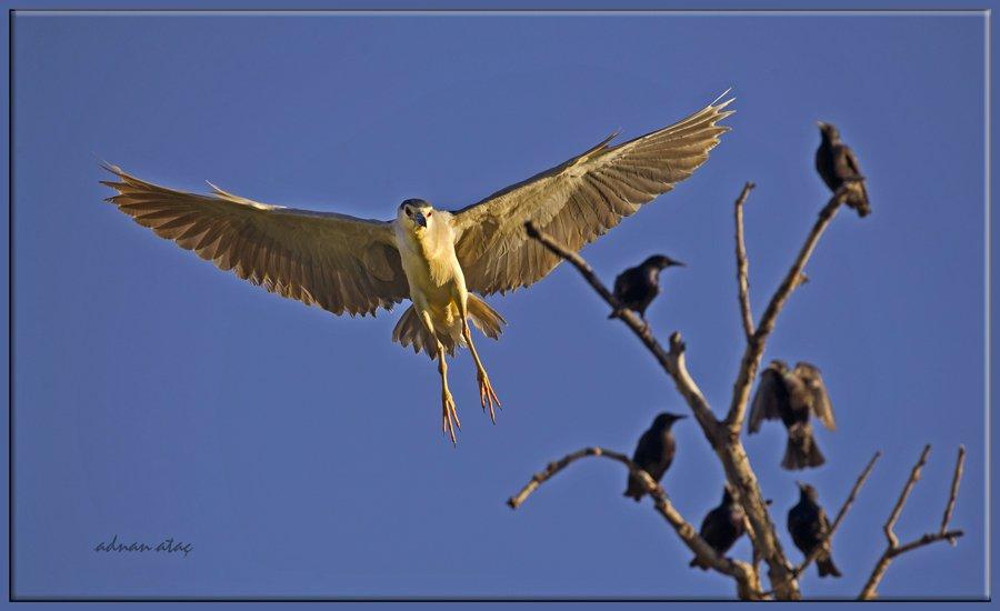 Gece balıkçılı - Nycticorax nycticorax - Black crowned night heron (Gölbaşı 2012) 2