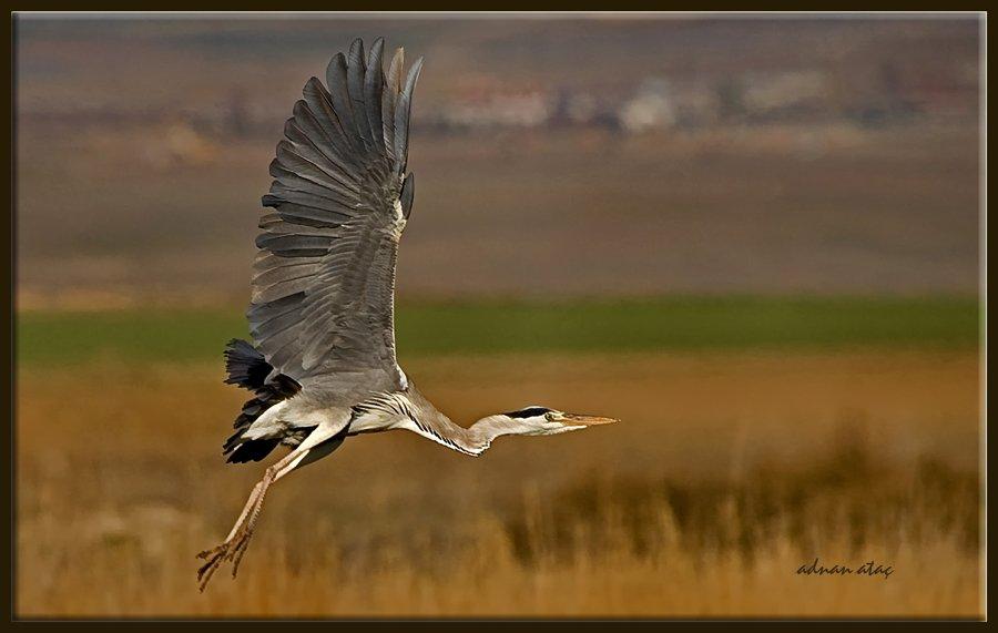Gri balıkçıl - Ardea cinerea - Grey heron (Gölbaşı 2010) 1