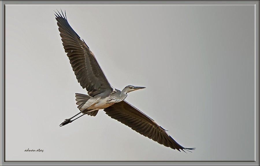 Gri balıkçıl - Ardea cinerea - Grey heron (Gölbaşı 2010) 2