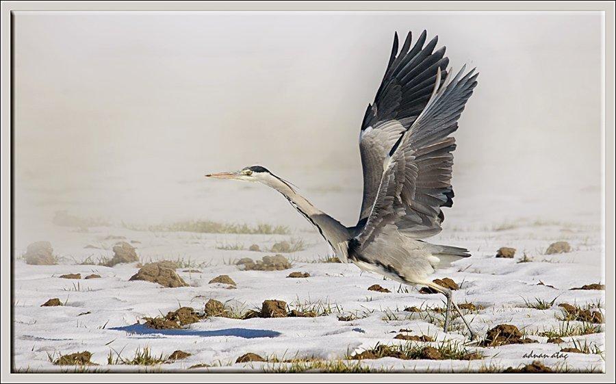 Gri balıkçıl - Ardea cinerea - Grey heron (Gölbaşı 2011) 1