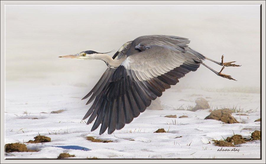 Gri balıkçıl - Ardea cinerea - Grey heron (Gölbaşı 2011) 2