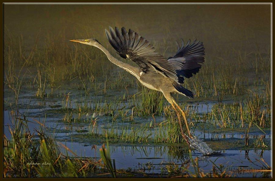 Gri balıkçıl - Ardea cinerea - Grey heron (Gölbaşı 2011) 6