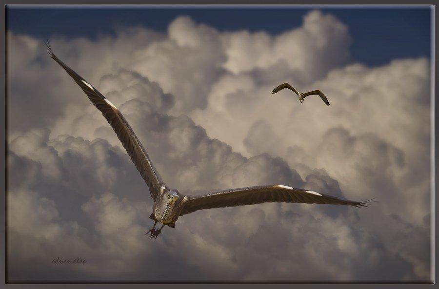 Gri balıkçıl - Ardea cinerea - Grey heron (Gölbaşı 2012) 3
