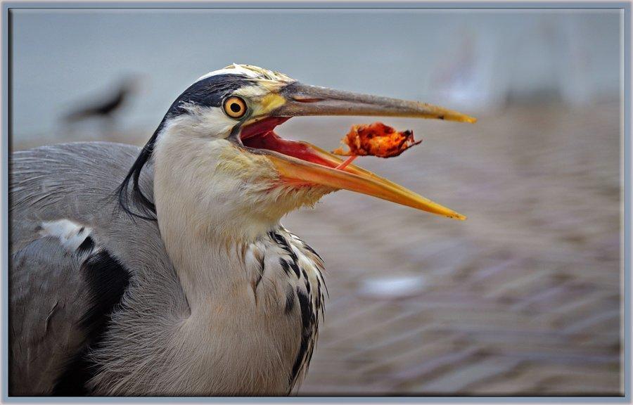 Gri balıkçıl - Ardea cinerea - Grey heron (Volendam 2012) Tavuk döner yerken