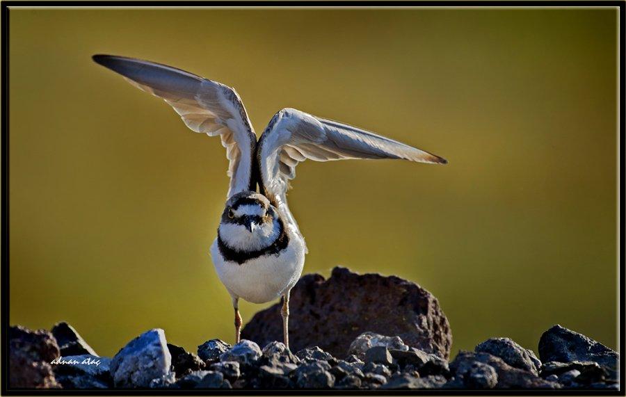 Halkalı küçük cılıbıt - Charadrius dubius - Little Ringed Plover (Gölbaşı 2011)
