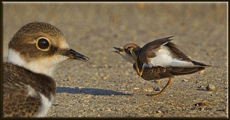Halkalı küçük cılıbıt - Charadrius dubius - Little Ringed Plover (Gölbaşı 2012)