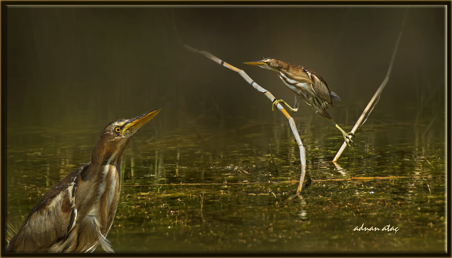 Küçük balaban - Ixobrychus minutus - Little Bittern (Gölbaşı 2014)