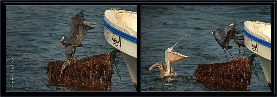 Kıyı balıkçılı (siyah) - Egretta gularis - Western Reef Heron (Jizan 2014) 5