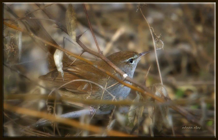 Kamışbülbülü - Cettia cetti - Cetti's warbler (Gölbaşı 2011)