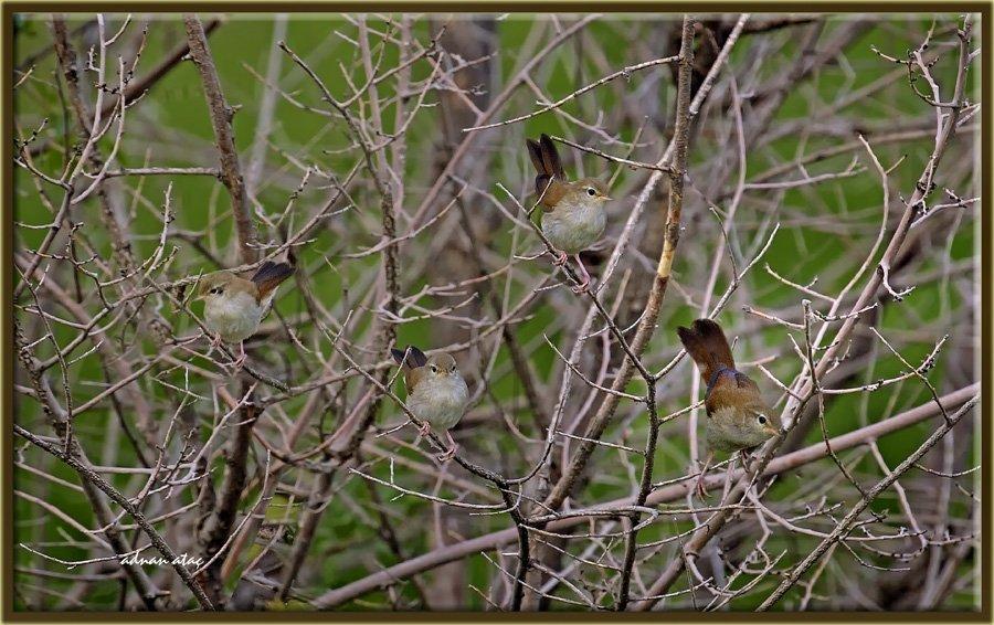 Kamışbülbülü - Cettia cetti - Cetti's warbler (Gölbaşı 2012) 2