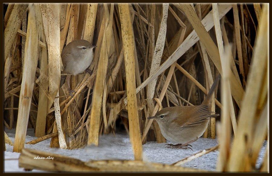 Kamışbülbülü - Cettia cetti - Cetti's warbler (Gölbaşı 2012)