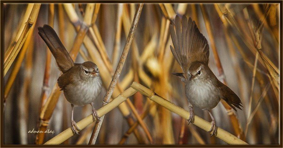 Kamışbülbülü - Cettia cetti - Cetti's warbler (Gölbaşı 2013) 2