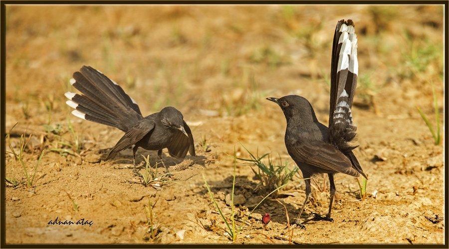 Kara çalı bülbülü - Cercotrichas podobe - Black bush robin (Jizan 2014)