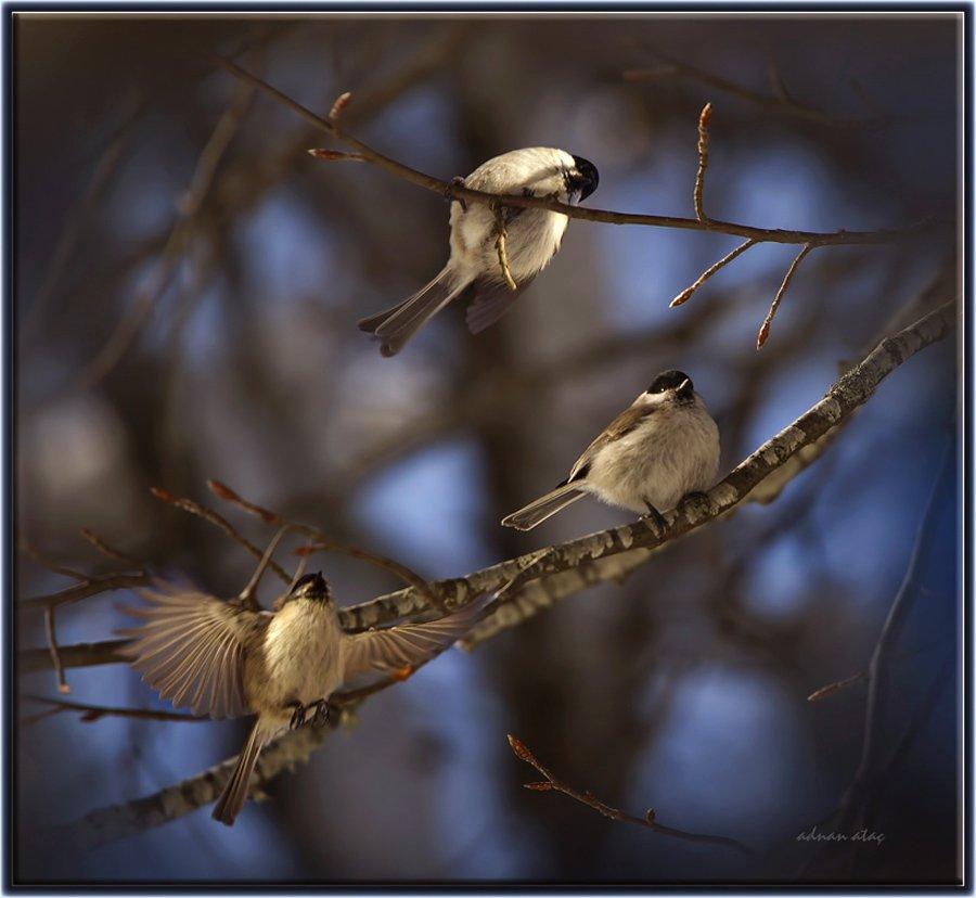 Kayın baştankarası - Poecile palustris - Marsh Tit (Abant 2012)