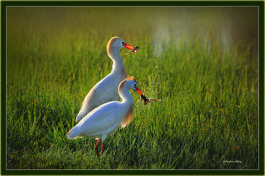 Sığır balıkçılı - Bubulcus ibis - Western Cattle Egret (Gölbaşı 2010) 1