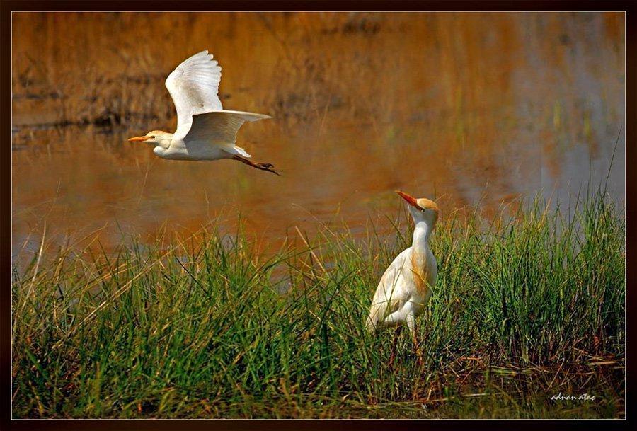 Sığır balıkçılı - Bubulcus ibis - Western Cattle Egret (Gölbaşı 2010) 2