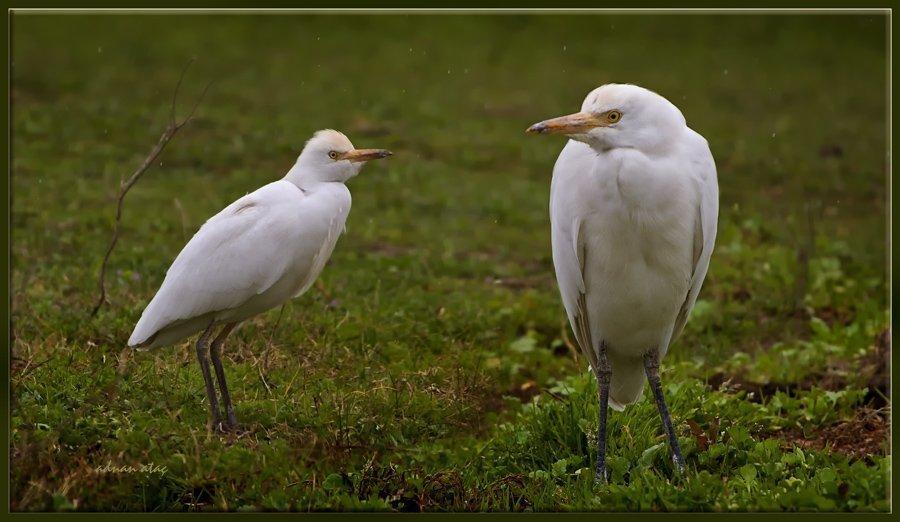 Sığır balıkçılı - Bubulcus ibis - Western Cattle Egret (Osmaniye 2011) 2
