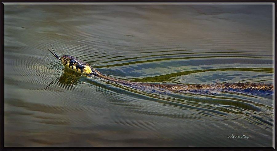 Su yılanı - Natrix tessellata (Ankara 2011)