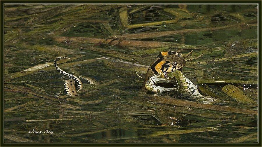 Su yılanı - Natrix tessellata (Ankara 2014) Kurbağa yerken