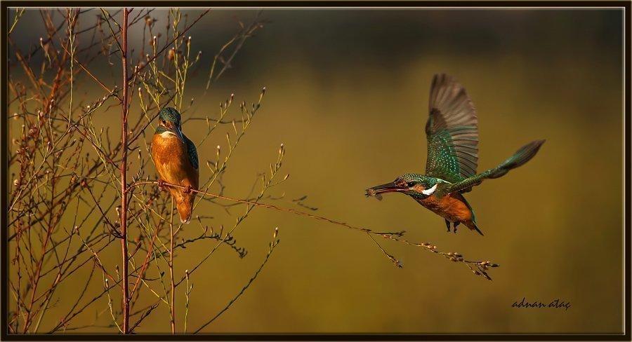 Yalıçapkını - Alcedo atthis - Kingfisher (Antalya 2010) 1