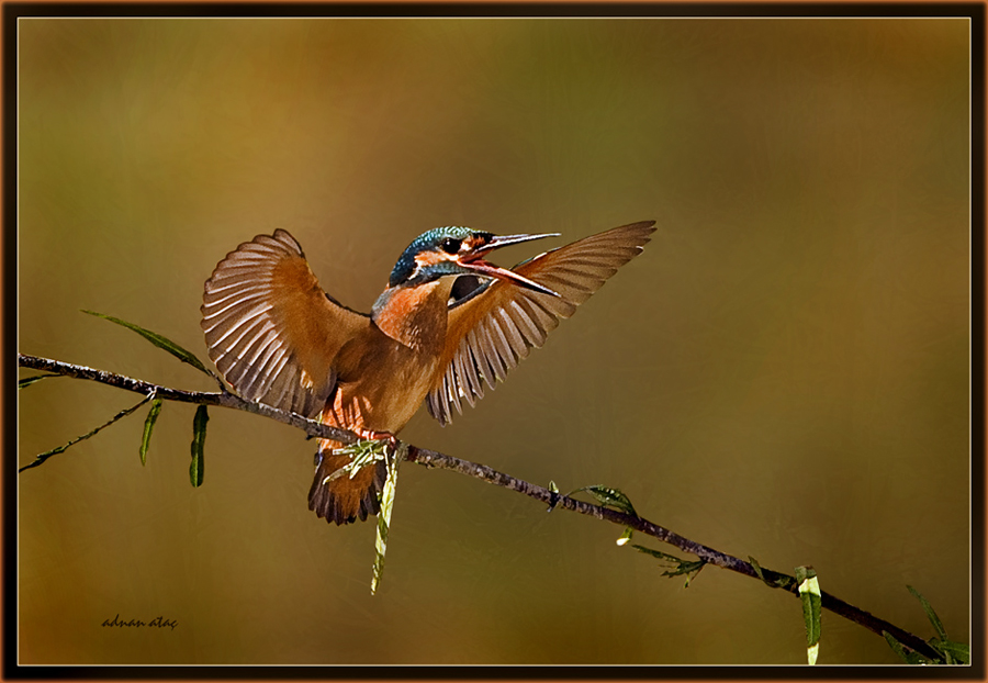 Yalıçapkını - Alcedo atthis - Kingfisher (Antalya 2010) 2