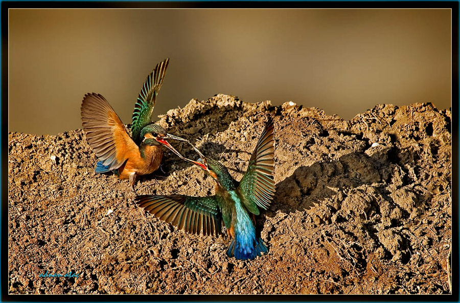 Yalıçapkını - Alcedo atthis - Kingfisher (Antalya 2010) 3