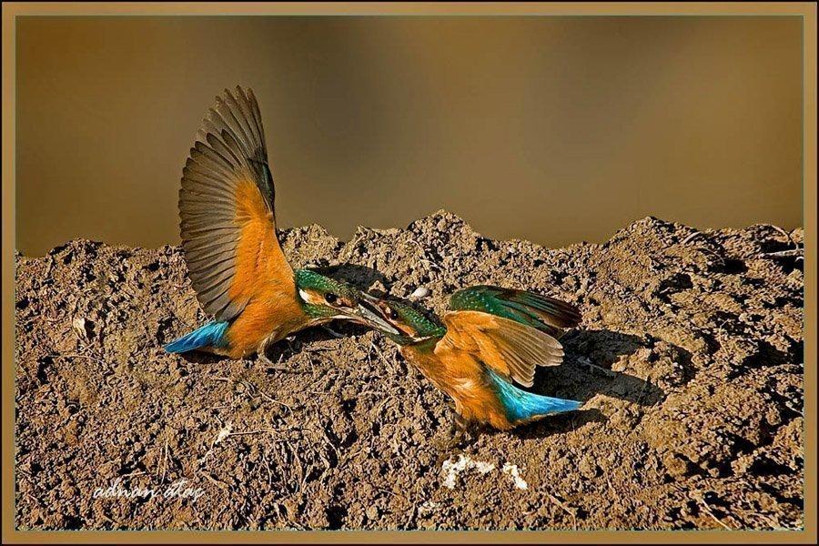 Yalıçapkını - Alcedo atthis - Kingfisher (Antalya 2010) 4