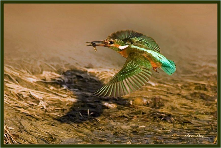 Yalıçapkını - Alcedo atthis - Kingfisher (Antalya 2010) 5