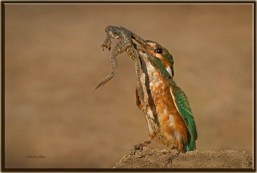 Yalıçapkını - Alcedo atthis - Kingfisher (Antalya 2010) Kurbağa yerken