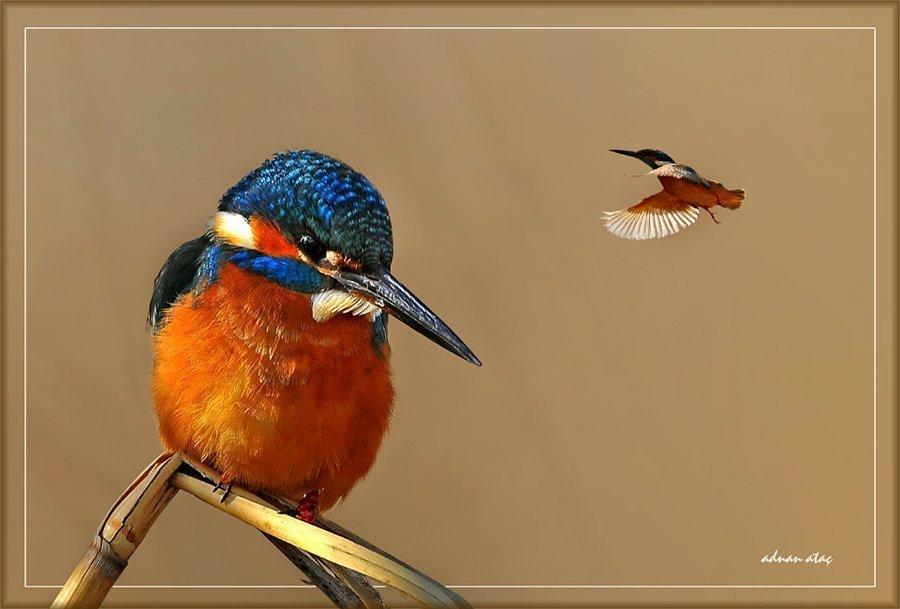 Yalıçapkını - Alcedo atthis - Kingfisher (Gölbaşı 2010) 1