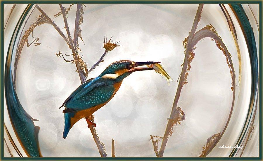 Yalıçapkını - Alcedo atthis - Kingfisher (Gölbaşı 2010) 2