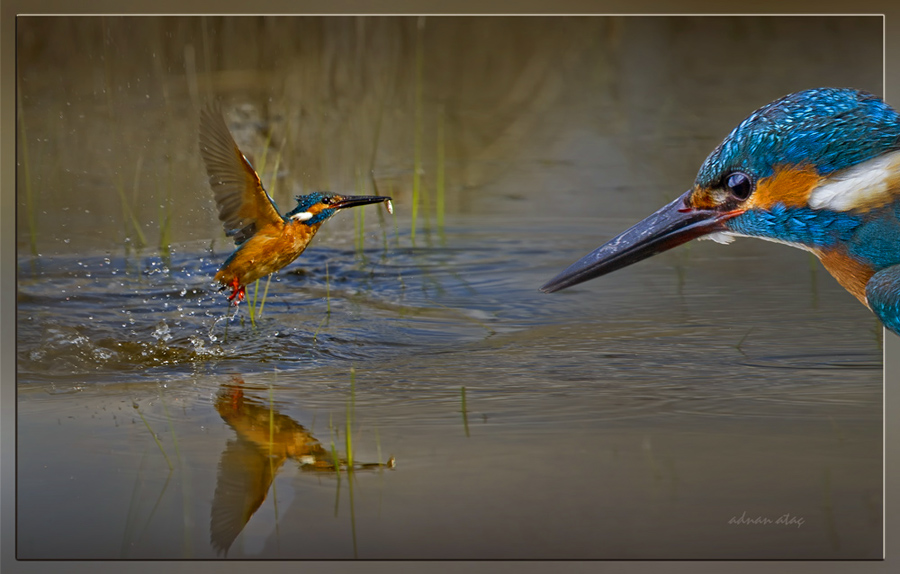 Yalıçapkını - Alcedo atthis - Kingfisher (Gölbaşı 2011) 1