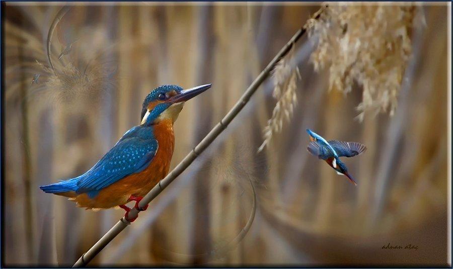 Yalıçapkını - Alcedo atthis - Kingfisher (Gölbaşı 2011) 2