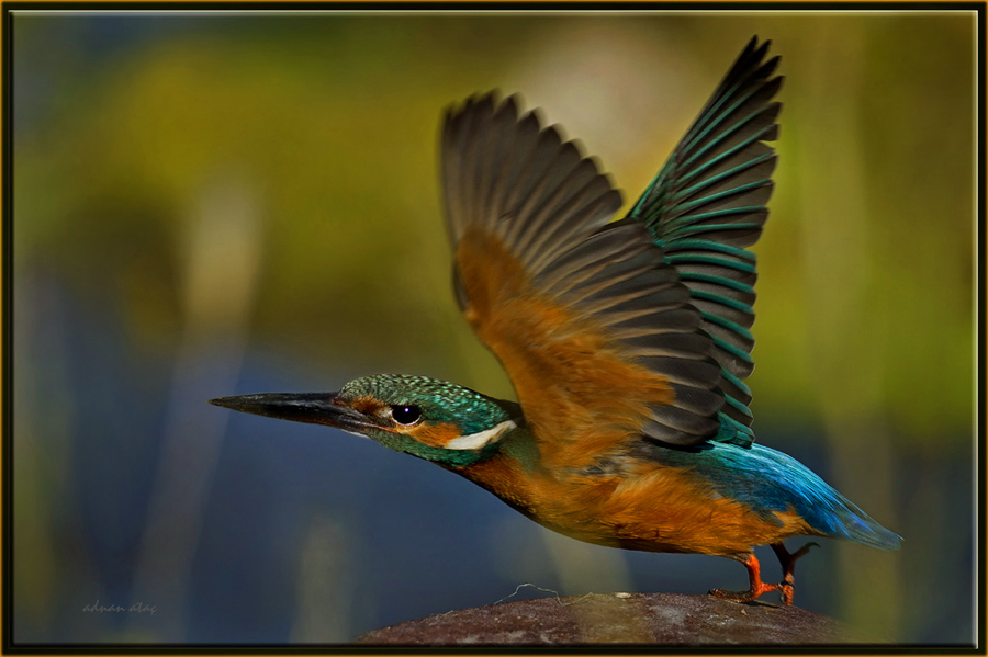 Yalıçapkını - Alcedo atthis - Kingfisher (Gölbaşı 2011) 4